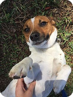 Terrier (Unknown Type, Small) Mix Dog for adoption in Boca Raton, Florida - Spencer
