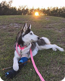 Siberian Husky Dog for adoption in Clearwater, Florida - Uma