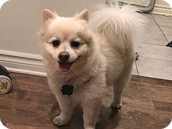 Pomeranian Mix Dog for adoption in Montreal, Quebec - Bou