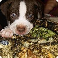 Adopt A Pet :: Alder - greenville, SC
