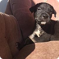Adopt A Pet :: Vegas - Loganville, GA