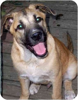 Labrador Retriever/Shepherd (Unknown Type) Mix Puppy for adoption in Olive Branch, Mississippi - Chester