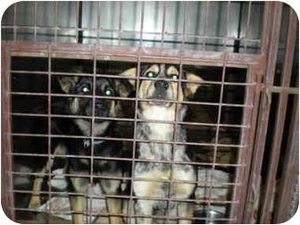 Australian Cattle Dog/German Shepherd Dog Mix Puppy for adoption in McIntosh, New Mexico - Anna