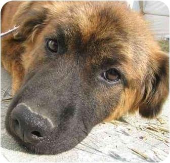 Australian Shepherd/Golden Retriever Mix Puppy for adoption in Chapel Hill, North Carolina - Alex
