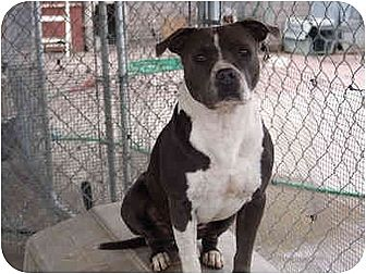 American Bulldog/Boxer Mix Dog for adoption in West Los Angeles, California - Woody