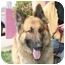 Photo 1 - Belgian Tervuren Mix Dog for adoption in Berkeley, California - Rocco