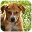 Photo 1 - Collie/Labrador Retriever Mix Puppy for adoption in Naperville, Illinois - Bandit
