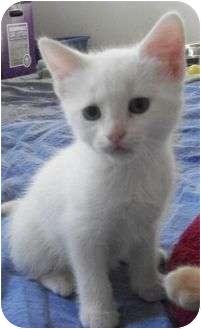 Domestic Shorthair Kitten for adoption in Reston, Virginia - Jack