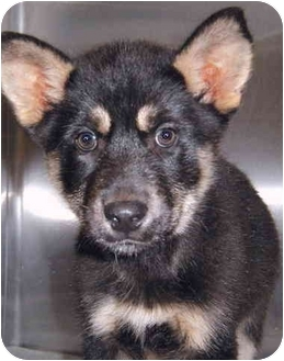 German Shepherd Dog Mix Puppy for adoption in Grass Valley, California - Klaus