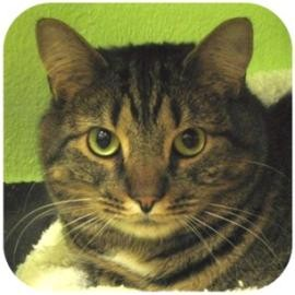 Domestic Shorthair Cat for adoption in Ithaca, New York - Kermit Joe Cat 13954-c