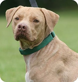 Labrador Retriever Mix Dog for adoption in North Fort Myers, Florida - Galaxy