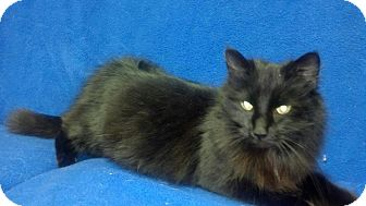Maine Coon Cat for adoption in East Hanover, New Jersey - Ivy