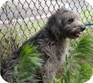 Bearded Collie/Poodle (Standard) Mix Dog for adoption in Beacon, New York - Thelma