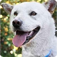 Adopt A Pet :: Bolt - West New York, NJ