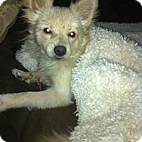 Adopt A Pet :: Brody - cameron, MO