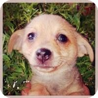 Chihuahua Mix Puppy for adoption in Grand Bay, Alabama - Millie
