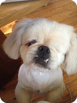 Pekingese Dog for adoption in SO CALIF, California - Sinbad