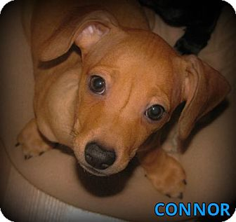 Dachshund/Terrier (Unknown Type, Small) Mix Puppy for adoption in Silsbee, Texas - Conner