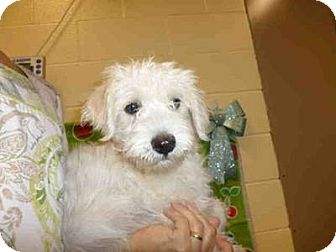 Poodle (Miniature)/Fox Terrier (Wirehaired) Mix Puppy for adoption in Simi Valley, California - Bertram