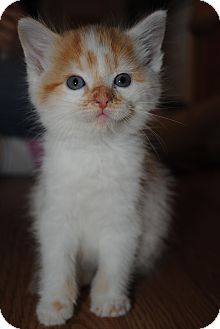 American Shorthair Kitten for adoption in Bay City, Michigan - Marshmellow