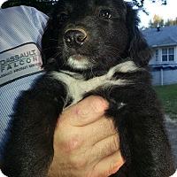Adopt A Pet :: Suri - Greenville, RI