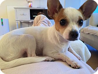 Chihuahua Mix Dog for adoption in Minneapolis, Minnesota - Amy