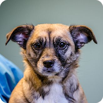 Jack Russell Terrier/Terrier (Unknown Type, Small) Mix Dog for adoption in Staunton, Virginia - Libby