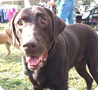 Labrador Retriever Dog for adoption in Olympia, Washington - Boone