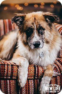 Australian Shepherd/Collie Mix Dog for adoption in Portland, Oregon - Barton