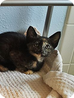 Domestic Shorthair Kitten for adoption in Tampa, Florida - Flounder