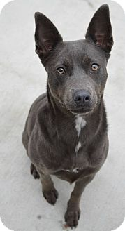 Blue Lacy/Texas Lacy Mix Dog for adoption in Prince George, Virginia - Izzy
