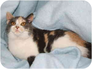 Domestic Shorthair Cat for adoption in Aledo, Illinois - Calli
