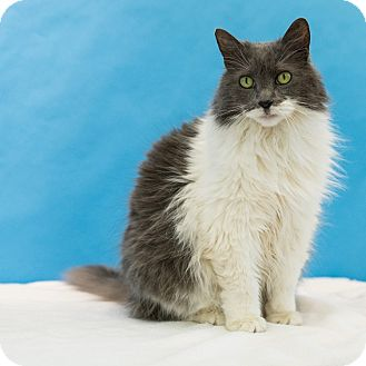 Domestic Longhair Cat for adoption in Houston, Texas - Karo