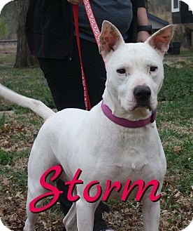 Bull Terrier Mix Dog for adoption in Cheney, Kansas - Storm