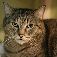 Adopt A Pet :: Tiger Lilly - Canoga Park, CA