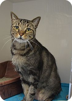 Domestic Shorthair Cat for adoption in Brooksville, Florida - 10309817