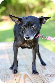Chihuahua Mix Puppy for adoption in Waldorf, Maryland - Fiona