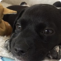 Adopt A Pet :: BEEBEE - Pine Grove, PA