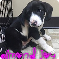Adopt A Pet :: Almond Joy - Garden City, MI