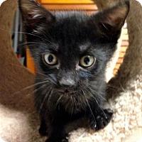 Adopt A Pet :: Hawk - River Edge, NJ