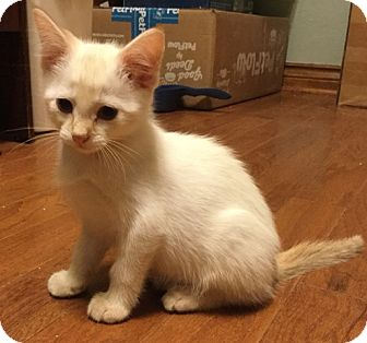 Siamese Kitten for adoption in Yukon, Oklahoma - Chaucer