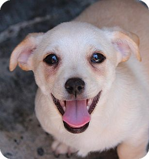 Terrier (Unknown Type, Small)/Dachshund Mix Puppy for adoption in Corona, California - DANNY