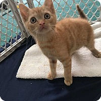 Adopt A Pet :: Maverick (car lot kittens) - Medford, NJ