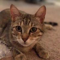 Adopt A Pet :: CATSY CLINE - Mesa, AZ