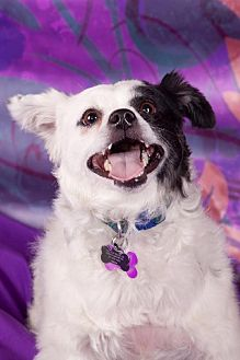 Chihuahua/Papillon Mix Dog for adoption in Elizabethtown, Pennsylvania - Ace