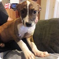 Labrador Retriever Mix Puppy for adoption in Sturbridge, Massachusetts - Rose