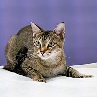 Adopt A Pet :: Pancake - Houston, TX