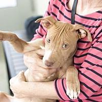 Adopt A Pet :: Joybell (California) - Fulton, MO
