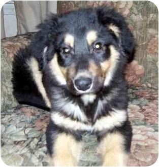 Australian Shepherd/German Shepherd Dog Mix Puppy for adoption in Overland Park, Kansas - Emmy