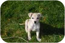 Labrador Retriever/Shepherd (Unknown Type) Mix Puppy for adoption in Broomfield, Colorado - Doc